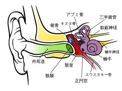 800pxanatomy_of_the_human_ear_jasvg