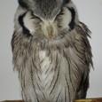 おねむのアフリカオオコノハズク2