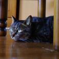 テーブルの下でくつろぐくくる