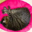 ピンクの丸い座布団の上で眠るくくる