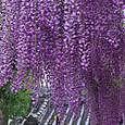 長い藤の花房